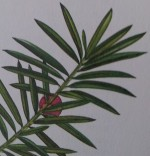 Bonsai Taxus Baccata