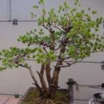 Pinus Parviflora 1