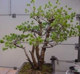 Pinus Pinus parviflora 1