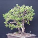 Pinus Pinus parviflora bedraad 3