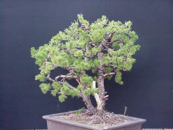 Pinus Pinus parviflora 3