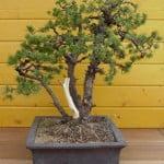 Pinus Pinus parviflora bedraad 2