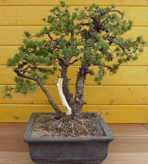 Pinus Pinus parviflora bedraad