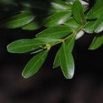 Bonsai Buxus Harlandii