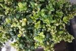 Bonsai Buxus Microphylla