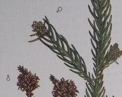 bonsai cryptomeria tak