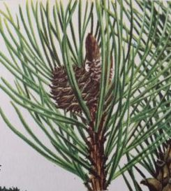 Bonsai Pinus Bergden